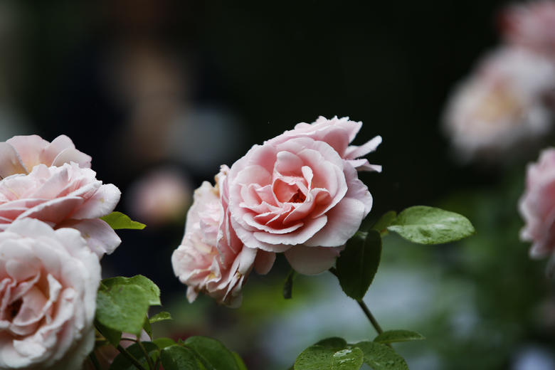 The new Oxford Physic Rose to celebrate 400 years of the Gardens