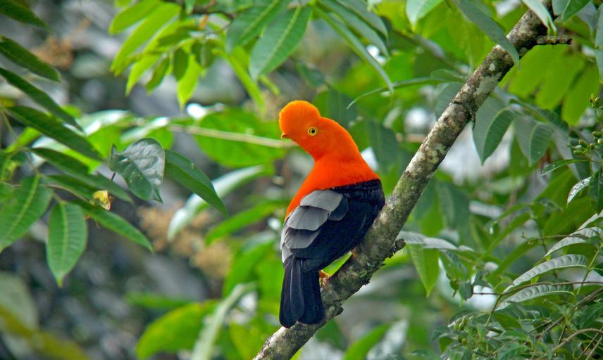 Male Andean Cock-of-the-rock (Rupicola peruvianus) resting in a Peruvian tropical rainforest along the Manu road
